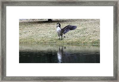 Canadian Goose Framed Print by Carolyn Postelwait