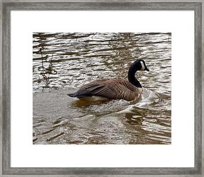 Canadian Goose Framed Print by Eva Thomas
