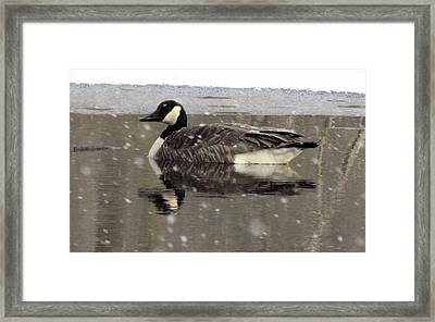Canadian Goose In Michigan Framed Print