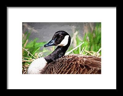 Canadian Goose Framed Prints