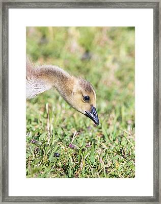 Canadian Gosling Framed Print by Robert Frederick