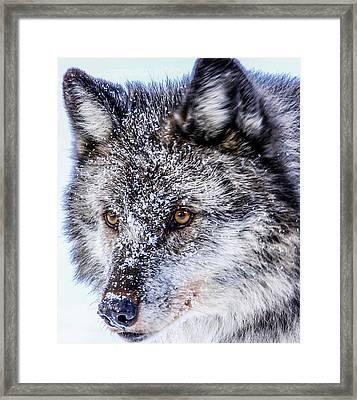 Canadian Grey Wolf In Portrait, British Columbia, Canada Framed Print