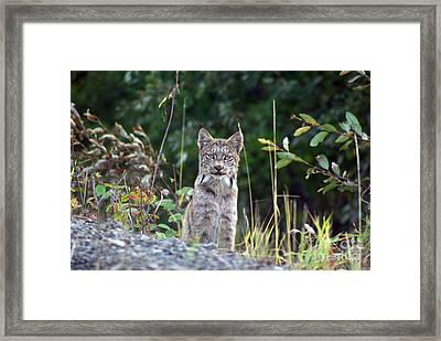 Canadian Lynx Framed Print