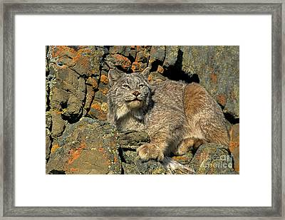 Framed Print featuring the photograph Canadian Lynx On Lichen-covered Cliff Endangered Species by Dave Welling