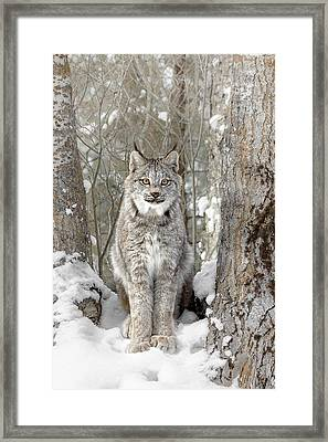 Canadian Wilderness Lynx Framed Print