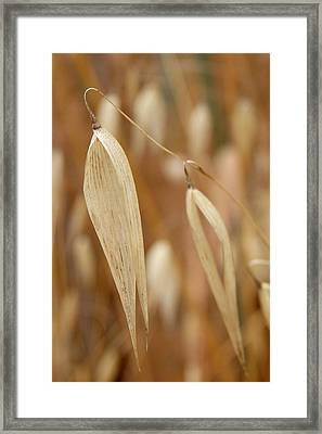 Canarian Oat - Closeup Of Dry Avena Canariensis Framed Print