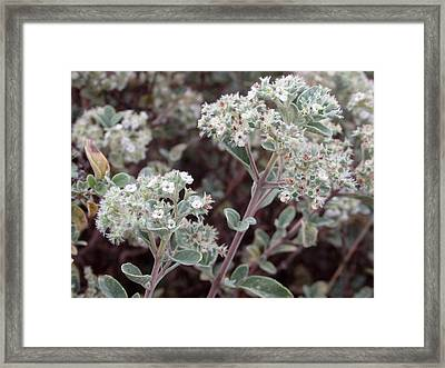 Canary Islands Smoke Bush 2 - Bystropogon Origanifolius Framed Print