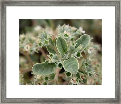 Canary Islands Smoke Bush 3 - Bystropogon Origanifolius Framed Print