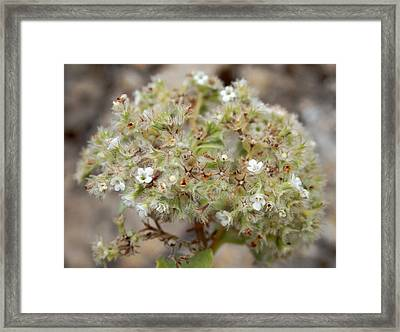 Canary Islands Smoke Bush - Bystropogon Origanifolius Framed Print