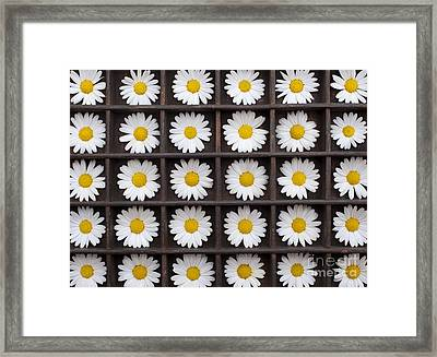 Canary Marguerite Flowers Framed Print