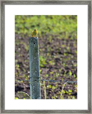 Canary Stop Framed Print by Bibi Romer
