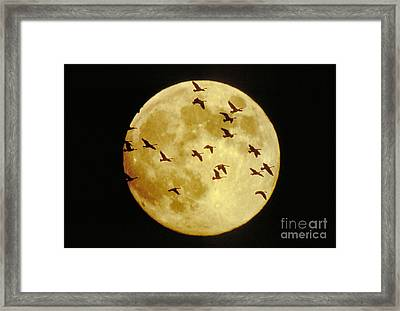Canda Geese And Moon Framed Print by Kenneth Fink and Photo Researchers