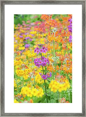 Candelabra Primula Flowers Framed Print by Tim Gainey