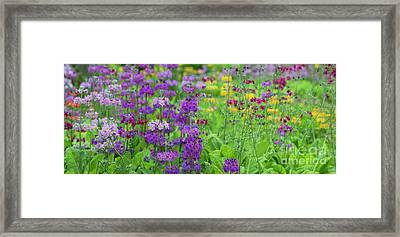 Candelabra Primula Panoramic Framed Print by Tim Gainey