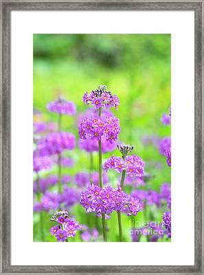 Candelabra Primula Framed Print