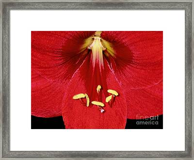 Candy Apple Red Amaryllis Framed Print by James Temple