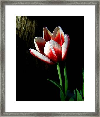 Candy Cane Tulip Framed Print by Peg Urban