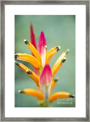 Framed Print featuring the photograph Candy Colours - Heliconia Tropical Flower by Sharon Mau