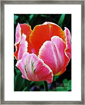 Candy Pink Tulip Framed Print by Sarah Loft