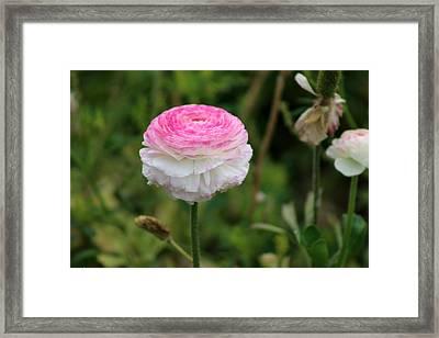 Candy Stripe Ranunculus Framed Print