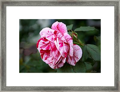 Candy Striped Rose Framed Print