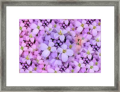 Candytuft Framed Print by Mary P. Siebert