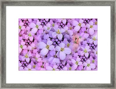 Candytuft Framed Print