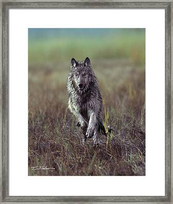 Canis Lupus Framed Print by Tim Fitzharris