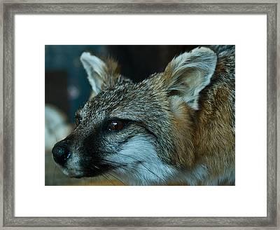 Canis Species Framed Print by Douglas Barnett