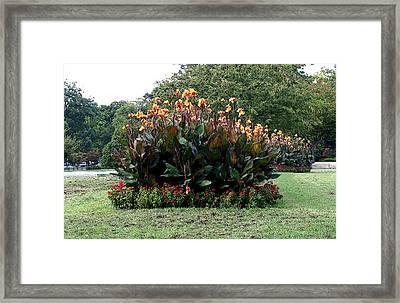 Canna 11 Framed Print by Padamvir Singh