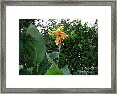 Canna 2 Framed Print by Padamvir Singh