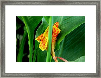 Canna 4 Framed Print by Padamvir Singh