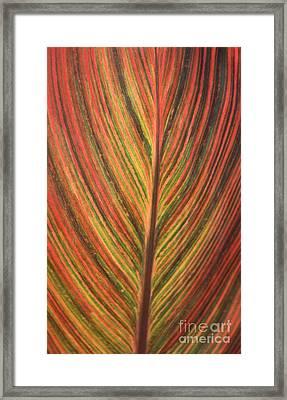 Canna Leaf Framed Print by Patrick  Short