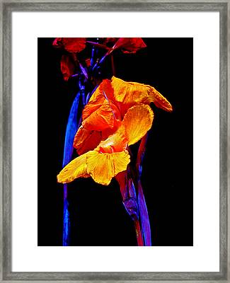 Canna Lilies On Black With Blue Framed Print by Mother Nature