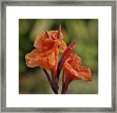 Canna Lily 2945_3 Framed Print