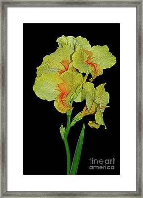 Canna Lily Be So Pretty? Framed Print by Kaye Menner