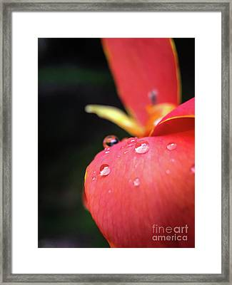 Canna Lily I Framed Print