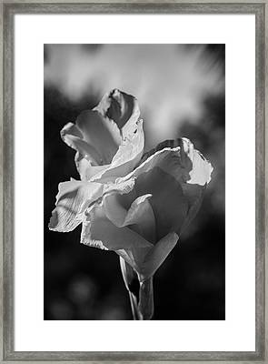 Canna Lily In Black And White Framed Print