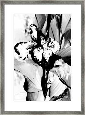 Canna Lily In White Framed Print by Jane Gatward