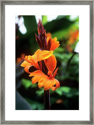 Canna Lily 'roi Humbert' Framed Print by Adrian Thomas