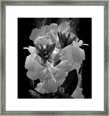 Canna Lily With Rain In Black And White Framed Print by Michele Avanti