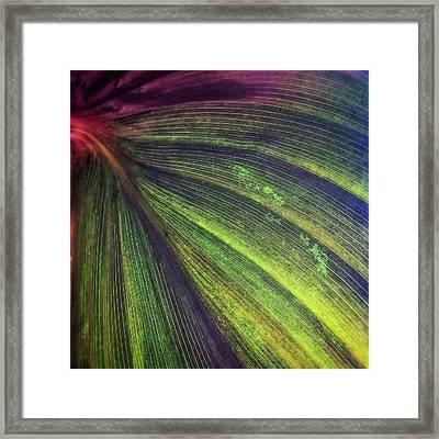 Canna Square 1 Framed Print by Jill Love