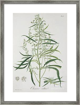 Cannabis Framed Print by LFJ Hoquart
