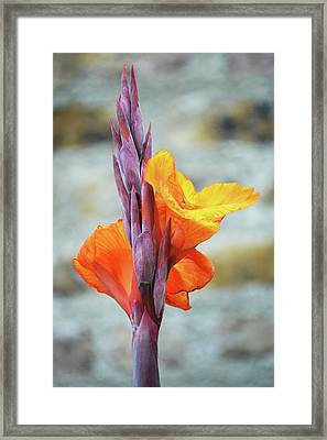 Cannas Framed Print by Terence Davis