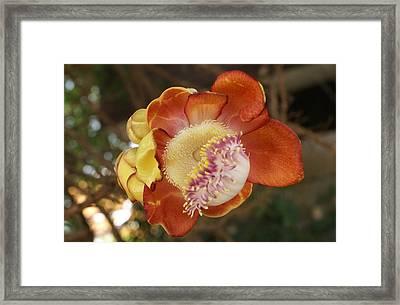 Cannonball Tree Flower Framed Print