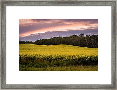 Framed Print featuring the photograph Canola Crop Sunset by Darcy Michaelchuk