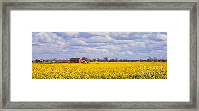 Canola Field Framed Print by John Edwards
