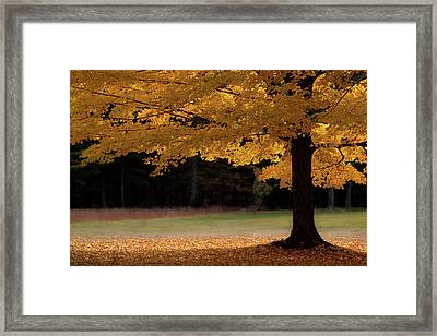 Canopy Of Autumn Gold Framed Print