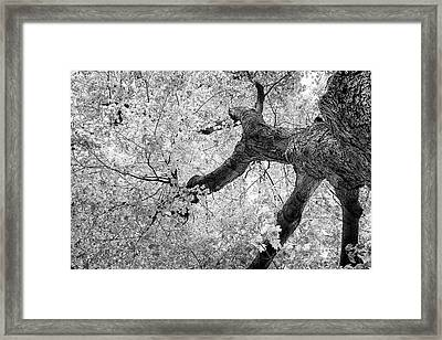 Canopy Of Autumn Leaves In Black And White Framed Print by Tom Mc Nemar