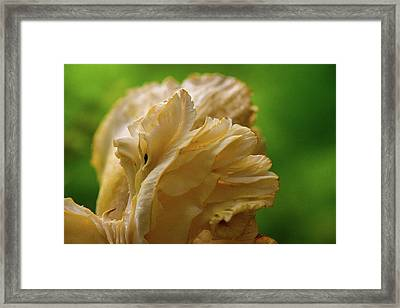 Cantharellus Gills Section Framed Print by Douglas Barnett
